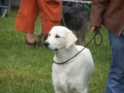 Clovelly Music Of Lanson Fields, chien Golden Retriever