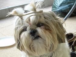 Clovis, chien Shih Tzu