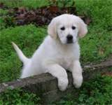 Clovis, chien Golden Retriever