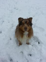 Clovis, chien Berger australien