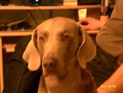 Clovis, chien Braque de Weimar