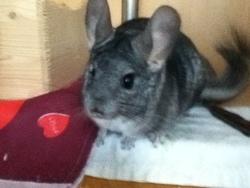 Clovis, rongeur Chinchilla