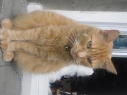 Clovis Décédé, chat Européen