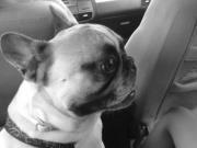 Clovis, chien Bouledogue français