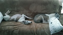 Clovis Et Cashmeer, chien Whippet