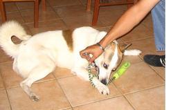 Clown, chien Husky sibérien