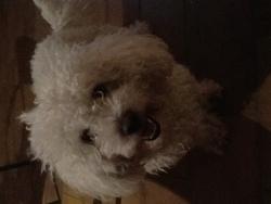 Clyde, chien Bichon à poil frisé