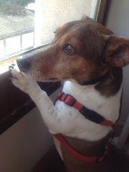 Clyde, chien Jack Russell Terrier