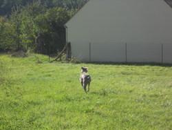 Clyde, chien Braque de Weimar