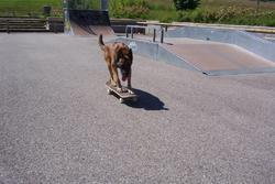 Coba, chien Berger belge