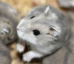 Coca, rongeur Hamster