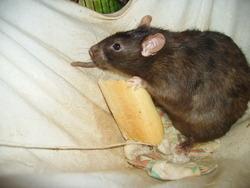 Coca, rongeur Rat