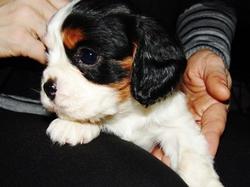 Coca, chien Cavalier King Charles Spaniel