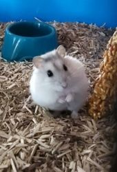 Cocaine, rongeur Hamster