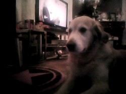 Cocasse, chien Golden Retriever