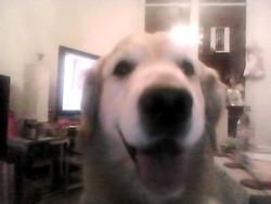 Caucaze , chien Golden Retriever
