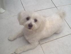 Coccinelle, chien Bichon maltais