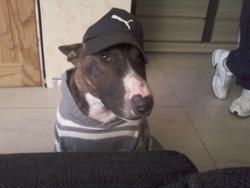 Cochon, chien Bull Terrier