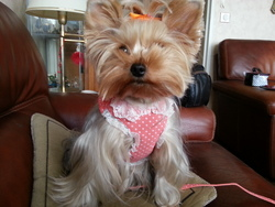 Coco, chien Yorkshire Terrier
