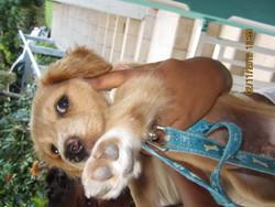 Coco, chien Labrador Retriever