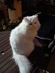 Coco  , chat Persan