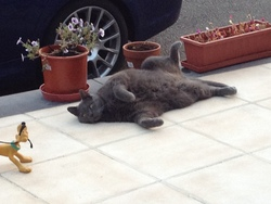 Coco, chat Chartreux