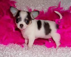 Coco, chien Chihuahua
