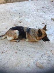 Coco, chien Azawakh