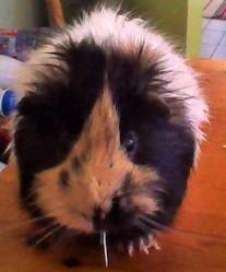 Coco, rongeur Cochon d'Inde