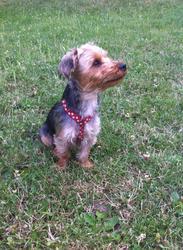 Coco, chien Yorkshire Terrier