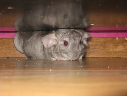 Coco , rongeur Chinchilla