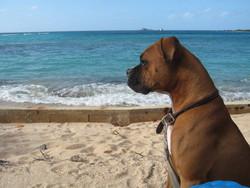 Coco, chien Boxer