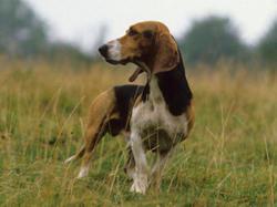 Coco, chien Basset artésien normand
