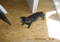 Coco, chien Pinscher