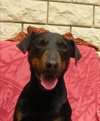 Coco, chien Jagdterrier
