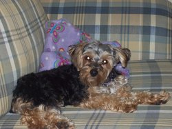 Coco   , chien Yorkshire Terrier