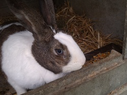 Coco_ Channel, rongeur Lapin