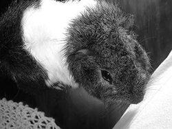 Cocolo, rongeur Cochon d'Inde