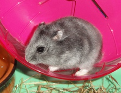 Cocotte, rongeur Hamster