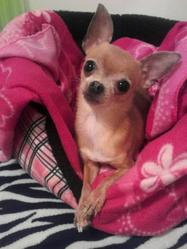Cocotte, chien Chihuahua