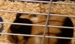 Coddy, rongeur Cochon d'Inde