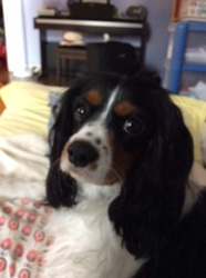 Cody, chien Cavalier King Charles Spaniel