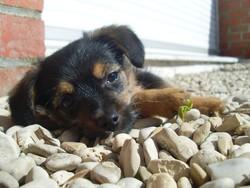 Cody, chien