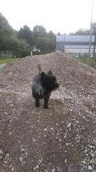 Cody, chien Cairn Terrier