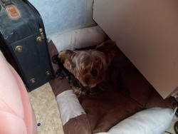 Coeur De Cheyenne, chien Yorkshire Terrier