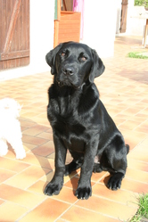 Coffee, chien Labrador Retriever