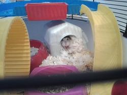 Cokin, rongeur Hamster