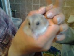 Cokine, rongeur Hamster