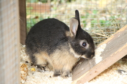 Cola, rongeur Lapin