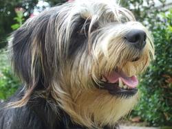 Colbert, chien